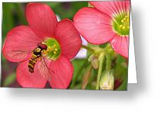 Oxalis Deppei Named Iron Cross Greeting Card