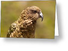 Portrait Of Nz Alpine Parrot Kea Nestor Notabilis Greeting Card