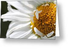 Shasta Daisy Named Paladin Greeting Card