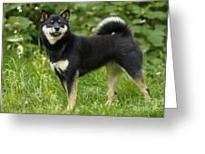 Shiba Inu Dog Greeting Card