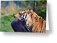 Tiger Playing Greeting Card