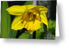 Trumpet Daffodil Named Exception Greeting Card