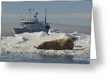 Walrus Resting On Ice Floe Greeting Card