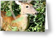 White Tailed Deer Portrait Greeting Card