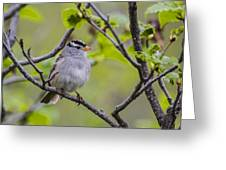 Whitecrowned Sparrow Greeting Card