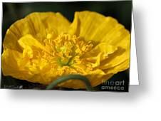 Yellow Iceland Poppy Greeting Card