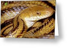 Yellow Rat Snake Greeting Card