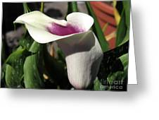 Zantedeschia Named Picasso Greeting Card