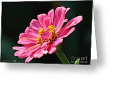 Zinnia From The Whirlygig Mix Greeting Card