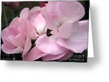 Zonal Geranium Named Tango Light Orchid Greeting Card