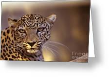 Arabian Leopard Panthera Pardus Greeting Card