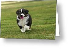 Australian Shepherd Puppy Greeting Card
