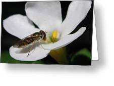 Bacopa Named Snowtopia Greeting Card