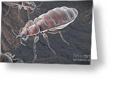 Bed Bugs Cimex Lectularius Greeting Card