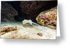 Bluespotted Stingray And Tropical Reef In The Red Sea. Greeting Card