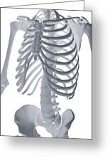 Bones Of The Torso Greeting Card
