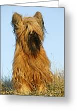 Briard Dog Greeting Card
