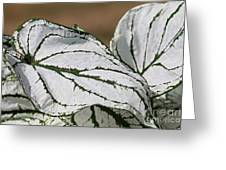 Caladium Named White Christmas Greeting Card