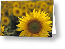 Close-up Of Sunflowers In A Field Greeting Card