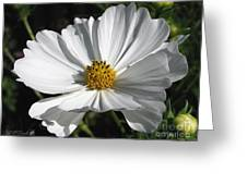 Cosmos Named Sensation Alba Greeting Card