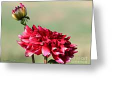 Dahlia Named Caproz Jerry Garcia Greeting Card