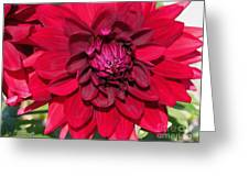 Dahlia Named Nuit D'ete Greeting Card