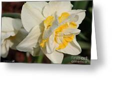 Double Daffodil Named White Lion Greeting Card