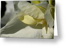 Dwarf Canna Lily Named Ermine Greeting Card