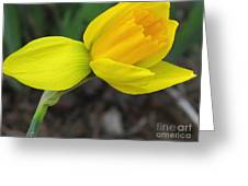 Dwarf Cyclamineus Daffodil Named Jet Fire Greeting Card