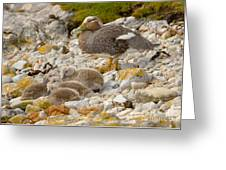 Falkland Steamerduck Greeting Card