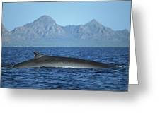 Fin Whale In Sea Of Cortez Greeting Card