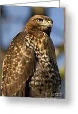 Hawk Greeting Card