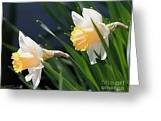 Large-cupped Daffodil Named Mrs. R.o. Backhouse Greeting Card