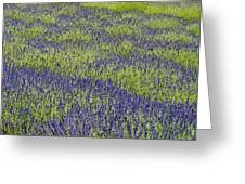 Lavendar Field Rows Of White And Purple Flowers Greeting Card