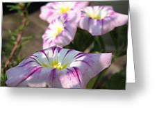 Morning Glory Named Pink Ensign Greeting Card