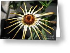 Osteospermum Named African Moon Greeting Card