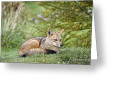 Patagonian Red Fox Greeting Card