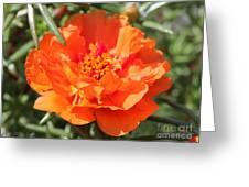 Portulaca Named Sundial Tangerine Greeting Card