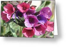 Pulmonaria Named Raspberry Splash Greeting Card