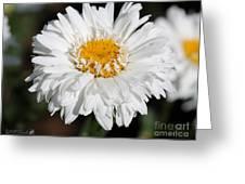 Shasta Daisy Named Paladin Greeting Card