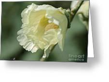 Single Buttercream Hollyhock Greeting Card