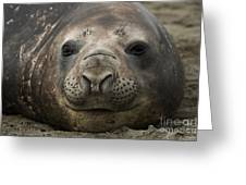 Southern Elephant Seal Greeting Card