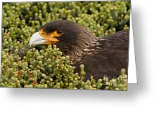 Striated Caracara Greeting Card