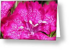 Sweet William From The Super Duplex Bluepoint Mix Greeting Card