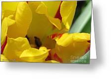 Triumph Tulip Named Washington Greeting Card