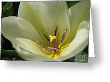 Tulip Named Perles De Printemp Greeting Card