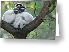 Verreauxs Sifakas Cuddling Greeting Card