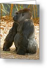 Western Lowland Gorilla Male Greeting Card