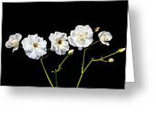 5 White Roses On Black Greeting Card