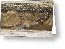 Wildebeests Crossing Mara River, Kenya Greeting Card